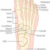 Free Foot & Ankle Guide